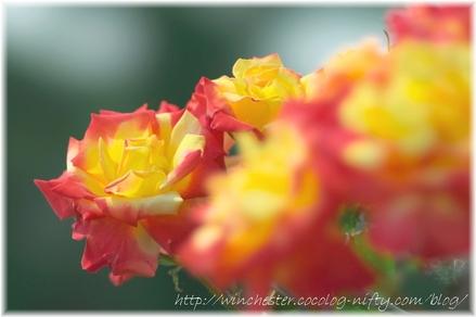 Rose_2008023