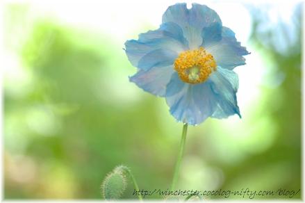 Blue_poppy_012