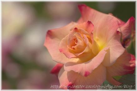Rose_2008066