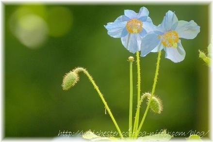 Blue_poppy_002