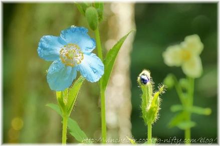 Blue_poppy_004