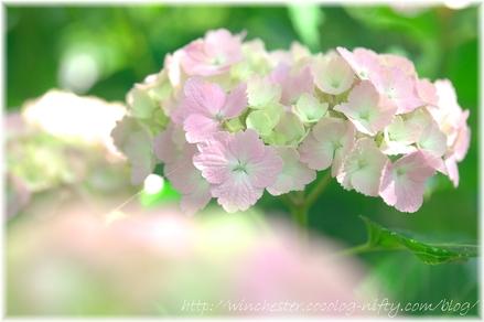 Ajisai_2008017