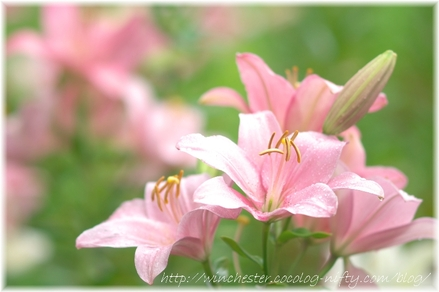 Lily_2008026