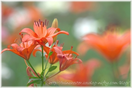 Lily_2008032