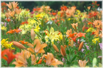 Lily_2008060