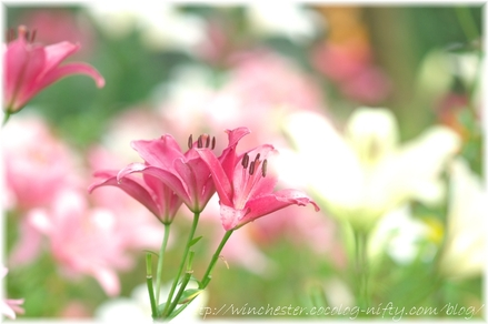 Lily_2008027