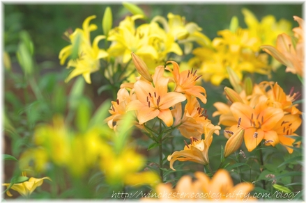 Lily_2008028