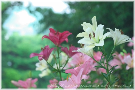 Lily_2008052