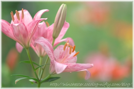 Lily_2008018