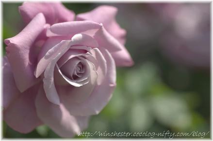 Rose_2008050