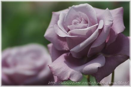 Rose_2008071