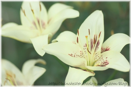 Lily_2008064