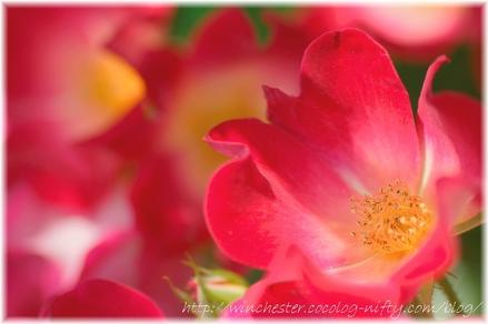 Rose_2008056