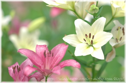 Lily_2008024