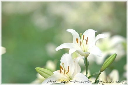 Lily_2008043