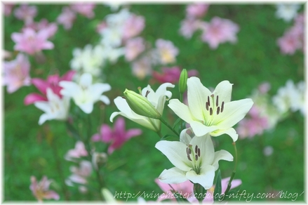 Lily_2008062