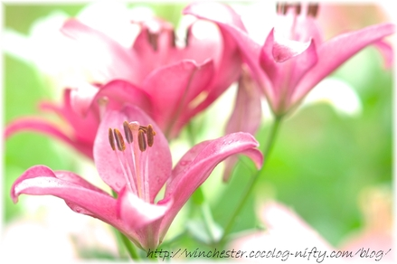 Lily_2008033