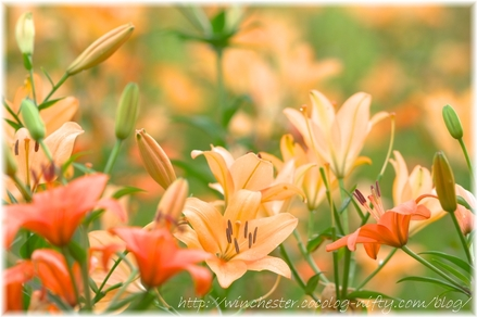 Lily_2008034
