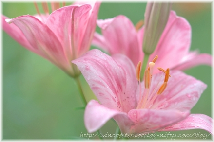 Lily_2008029