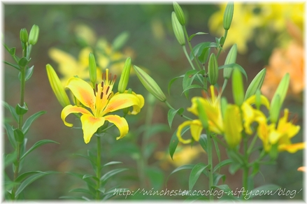 Lily_2008036