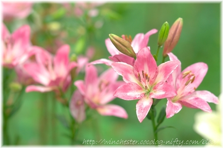 Lily_2008040