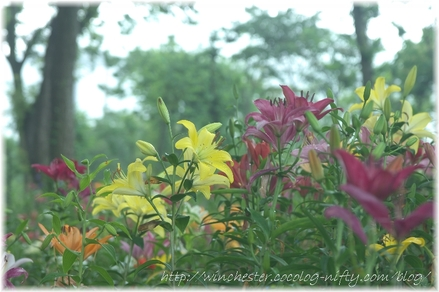 Lily_2008044