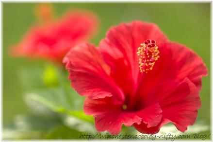 Hibiscus_2008001