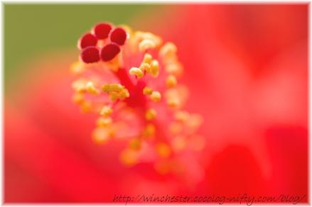 Hibiscus_2008003