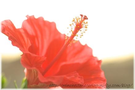 Hibiscus_2008004