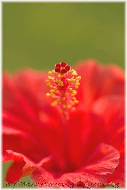 Hibiscus_2008005