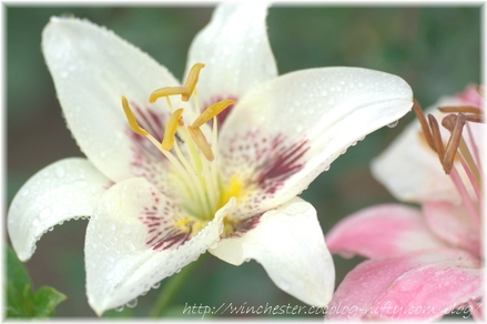 Lily_2008048