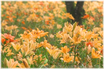 Lily_2008017