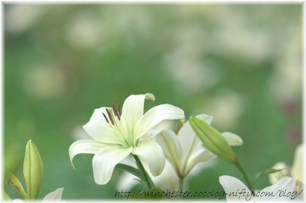 Lily_2008042