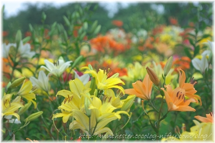 Lily_2008061