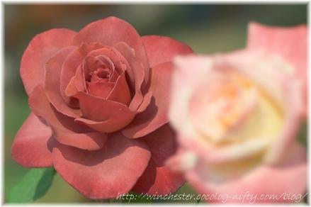 Rose_2008021