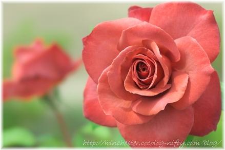 Rose_2008024