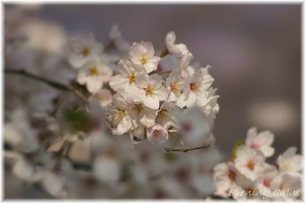 Sakura_2009001
