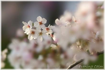 Sakura_2009002