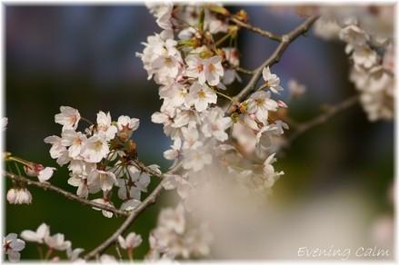 Sakura_2009003