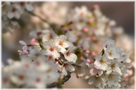 Sakura_2009004