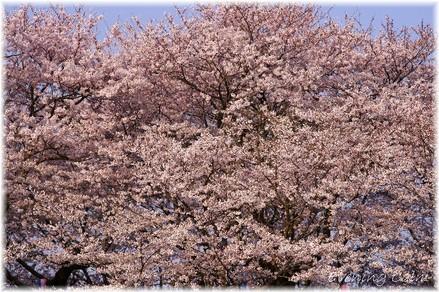 Sakura_2009005