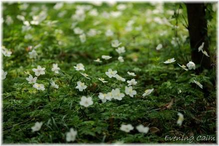 Ichirinsou_2009004