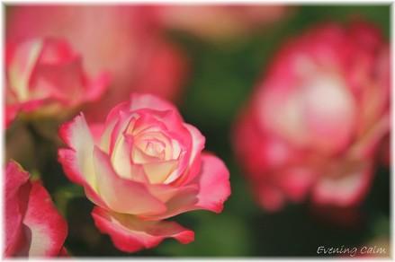 Keisei_rose2009002