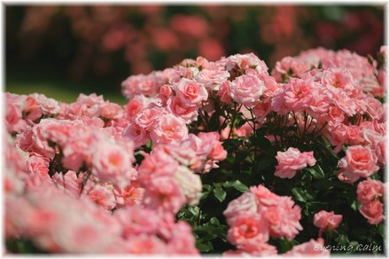 Keisei_rose2009005