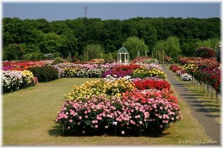 Keisei_rose2009007