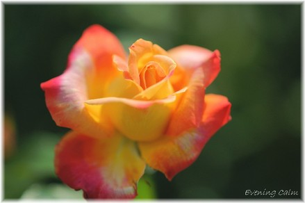 Keisei_rose2009008
