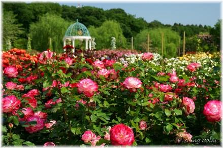 Keisei_rose2009010