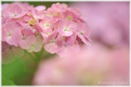 Ajisai_2009001