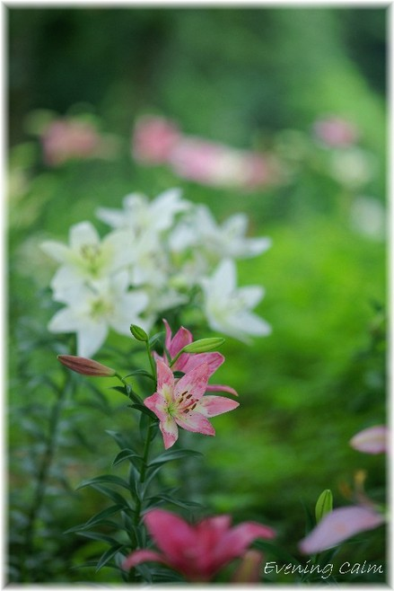 Lily_2009019