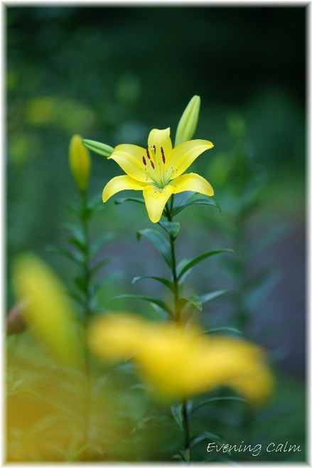 Lily_2009034